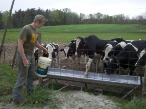 Feeding Holstein Heifers