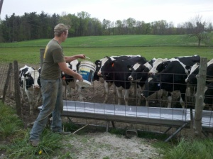Feeding Heifers