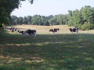heifer reunion