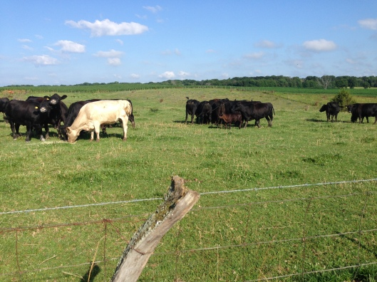 cows eating corn in the pasture